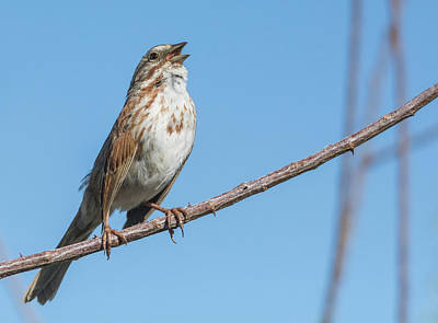 Photograph - Song Sparrow 4179-040318-1cr by Tam Ryan