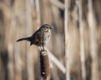 Photograph - Song Sparrow And Cattails by Robert Potts