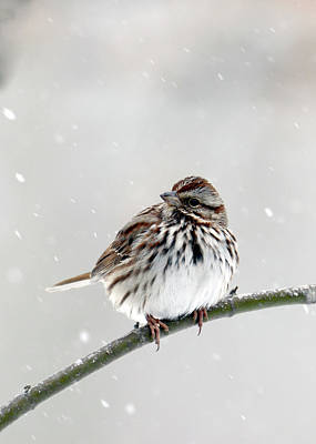 Photograph - Song Sparrow by Ann Bridges