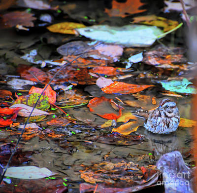 Autumn Leaf Photograph - Song Sparrow Bath Time by Kerri Farley