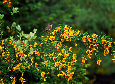 Sparrow Photograph - Song Sparrow Bird On Blooming Scotch by Panoramic Images