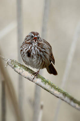 Photograph - Song Sparrow by Craig Strand