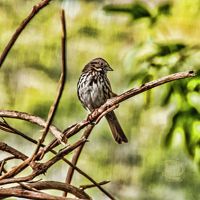 Photograph - Song Sparrow by Daniel Hebard