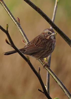 Photograph - Song Sparrow by I'ina Van Lawick