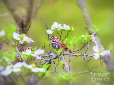 Photograph - Song Sparrow In Dogwood 2 by Kerri Farley
