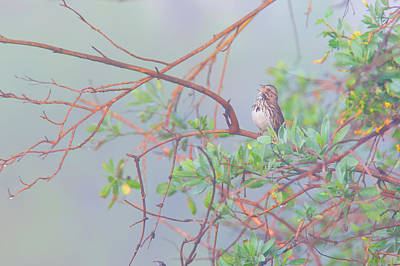 Photograph - Song Sparrow In Fog by Ram Vasudev