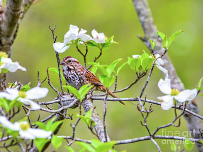 Photograph - Song Sparrow In The Dogwood by Kerri Farley