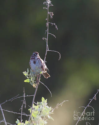 Photograph - Song Sparrow In The Tree by Ruth Jolly