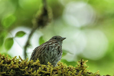 Photograph - Song Sparrow, No. 3 by Belinda Greb