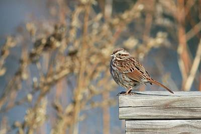 Photograph - Song Sparrow On A Fence by Carol Montoya