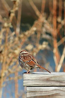 Photograph - Song Sparrow On A Fence II by Carol Montoya