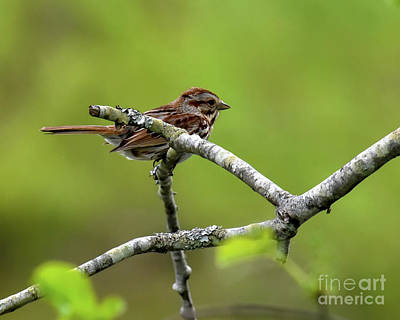Photograph - Song Sparrow On Tree Branch by Cynthia Staley