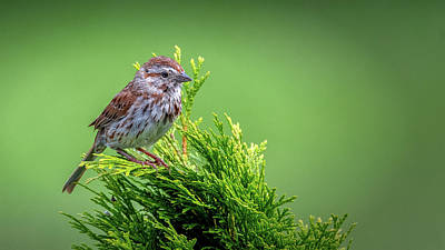 Song Sparrow Perched - Melospiza Melodia Art Print