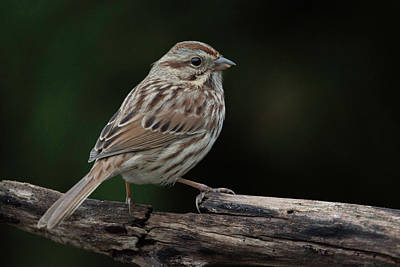 Wall Art - Photograph - Song Sparrow by Phil Thach