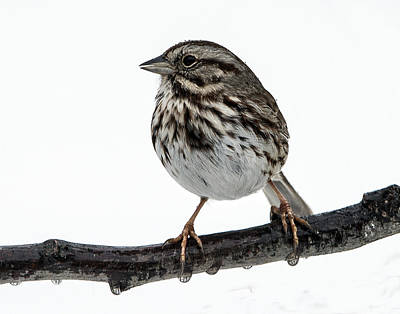 Photograph - Song Sparrow Profile by William Bitman