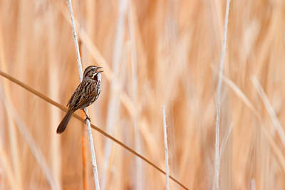 Photograph - Song Sparrow by Ram Vasudev