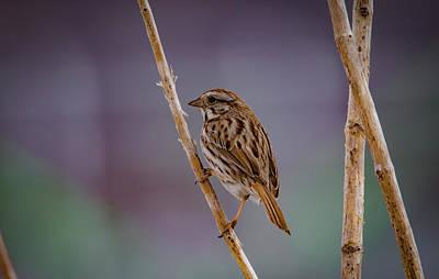 Photograph - Song Sparrow by Ray Congrove