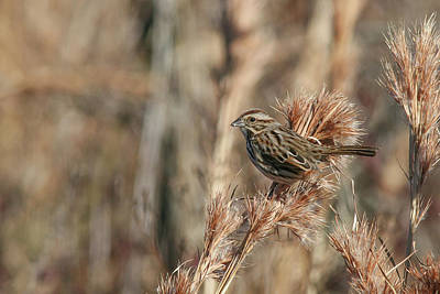 Whimsically Poetic Photographs - Song Sparrow by Ronnie Maum