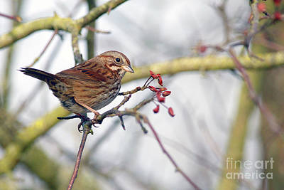 Song Sparrow Art Print by Sharon Talson