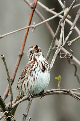 Photograph - Song Sparrow Sings by Matt Keough