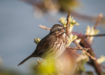 Photograph - Song Sparrow Sings by Robert Potts