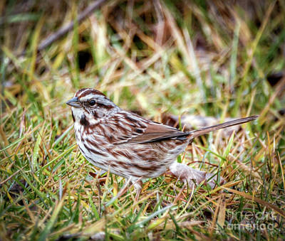 Sparrow Photograph - Song Sparrow Sweetie by Kerri Farley