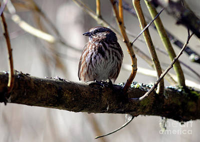 Photograph - Song Sparrow by Terry Elniski