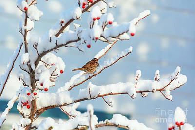 Photograph - Song Sparrow by Verena Matthew