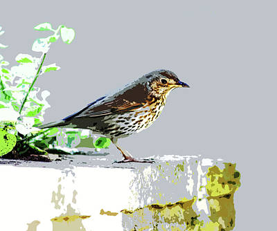 Photograph - Song Thrush by Mary Castellan