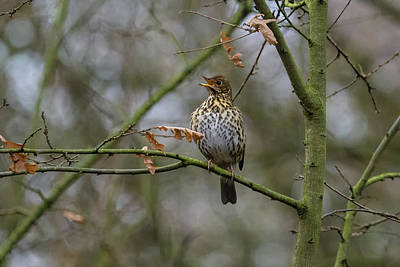 Photograph - Song Thrush by Matt Malloy