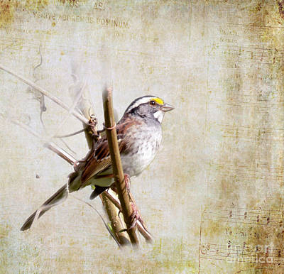 Photograph - Songbirds - White-throated Sparrow by Kerri Farley