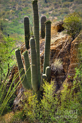 Photograph - Sonoran Desert Dweller by Deb Halloran