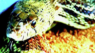 Photograph - Sonoran Gopher Snake by Judy Kennedy