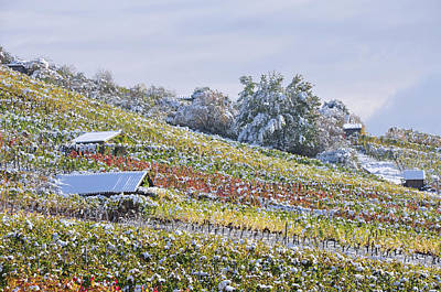 Photograph - Sonw Covered Vineyard In Autumn Leaves by Martin Stankewitz