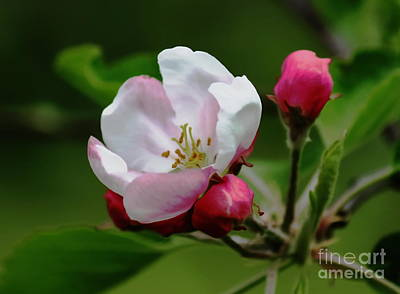 Photograph - Soon To Be Apples by Erica Hanel