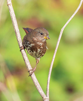 Photograph - Sooty Fox Sparrow by Loree Johnson