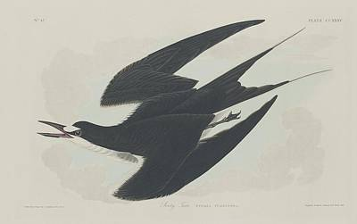 Wings Drawing - Sooty Tern by Dreyer Wildlife Print Collections