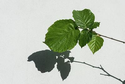 Sophisticated Shadows - Glossy Hazelnut Leaves On White Stucco - Horizontal View Left Upwards Art Print