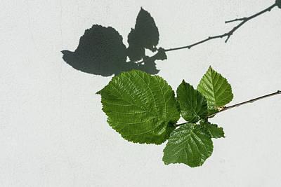 Photograph - Sophisticated Shadows - Glossy Hazelnut Leaves On White Stucco - Horizontal View Right Down by Georgia Mizuleva