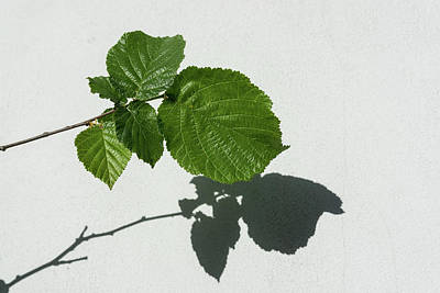 Photograph - Sophisticated Shadows - Glossy Hazelnut Leaves On White Stucco - Horizontal View Right Upwards by Georgia Mizuleva