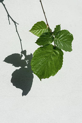 Sophisticated Shadows - Glossy Hazelnut Leaves On White Stucco - Vertical View Down Left Art Print