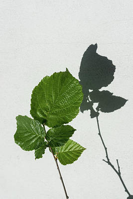 Photograph - Sophisticated Shadows - Glossy Hazelnut Leaves On White Stucco - Vertical View Upwards Right by Georgia Mizuleva