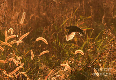 Photograph - Sora In Flight by Charles Owens