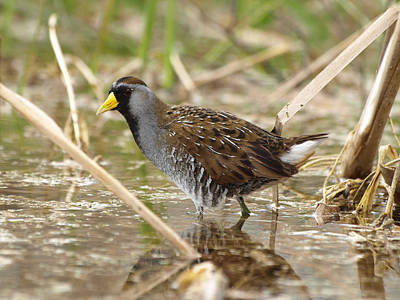 Photograph - Sora Rail by James Peterson