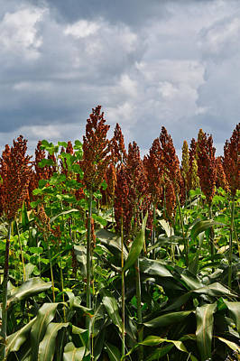 Photograph - Sorghum by Linda Brown
