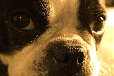 Boston Terrier Photograph - Sorry by Angie Wingerd