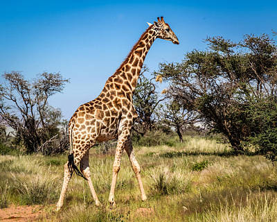 Photograph - Sossulvei Giraffe by Gregory Daley  PPSA