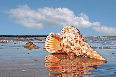 Photograph - Sounds Of The Ocean - Trumpet Triton Seashell by Gill Billington