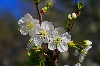 Photograph - Sour Cherry Blossoms by Kathryn Meyer