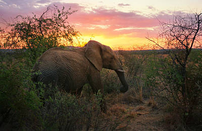 Photograph - South African Elephant At Sunset - Black Rhino Reserve by Menega Sabidussi